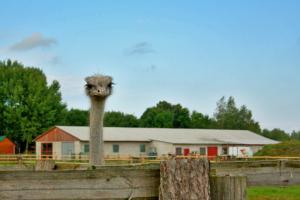 Кобрин - страусиная ферма